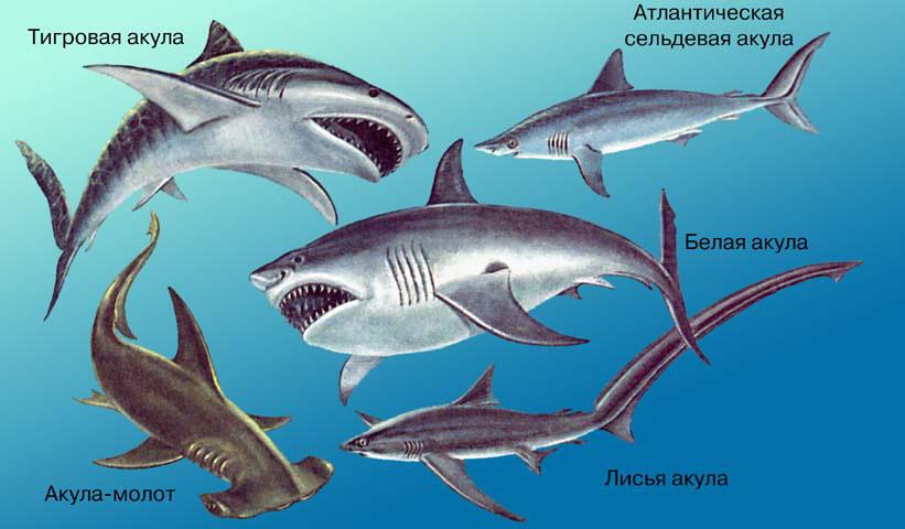 Акулы. Виды. Из учебника