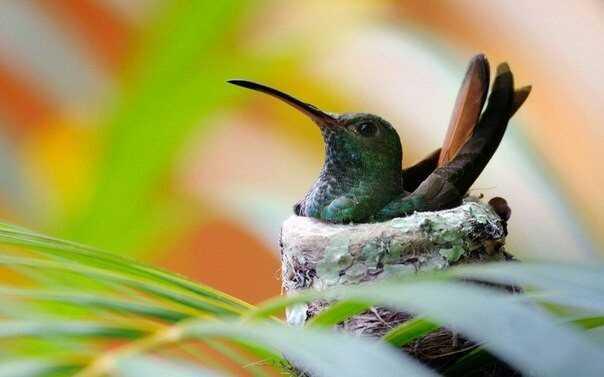 калибри, птица, яйца, гнездо, в мире животных